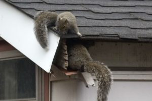 A photo a squirrels entering squeezing through gutters to enter a home.